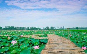 khu sinh thái xanh đồng sen tháp mười